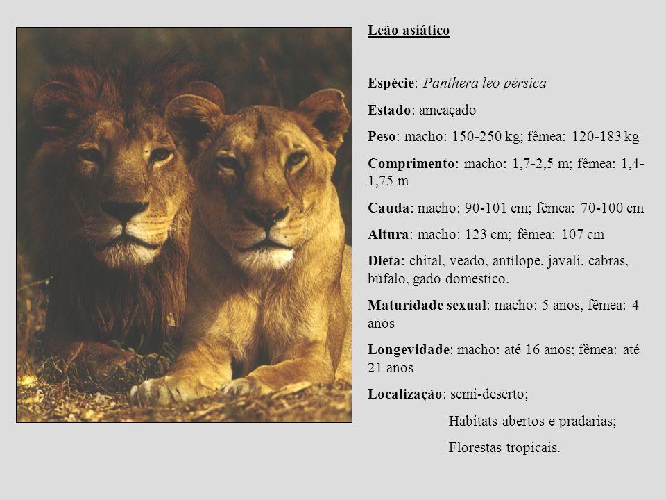 Leão asiático Espécie: Panthera leo pérsica. Estado: ameaçado. Peso: macho: 150-250 kg; fêmea: 120-183 kg.