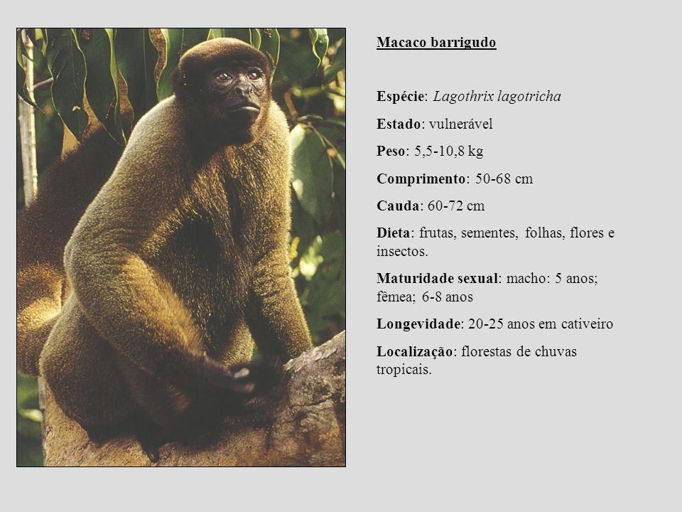 Macaco barrigudo Espécie: Lagothrix lagotricha. Estado: vulnerável. Peso: 5,5-10,8 kg. Comprimento: 50-68 cm.