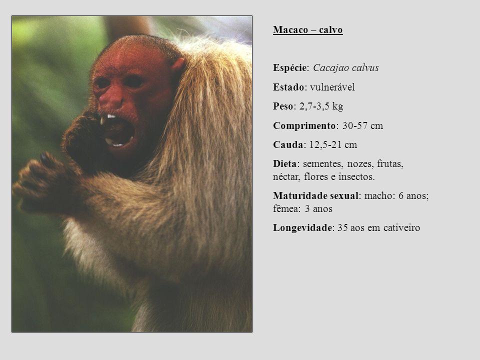 Macaco – calvo Espécie: Cacajao calvus. Estado: vulnerável. Peso: 2,7-3,5 kg. Comprimento: 30-57 cm.