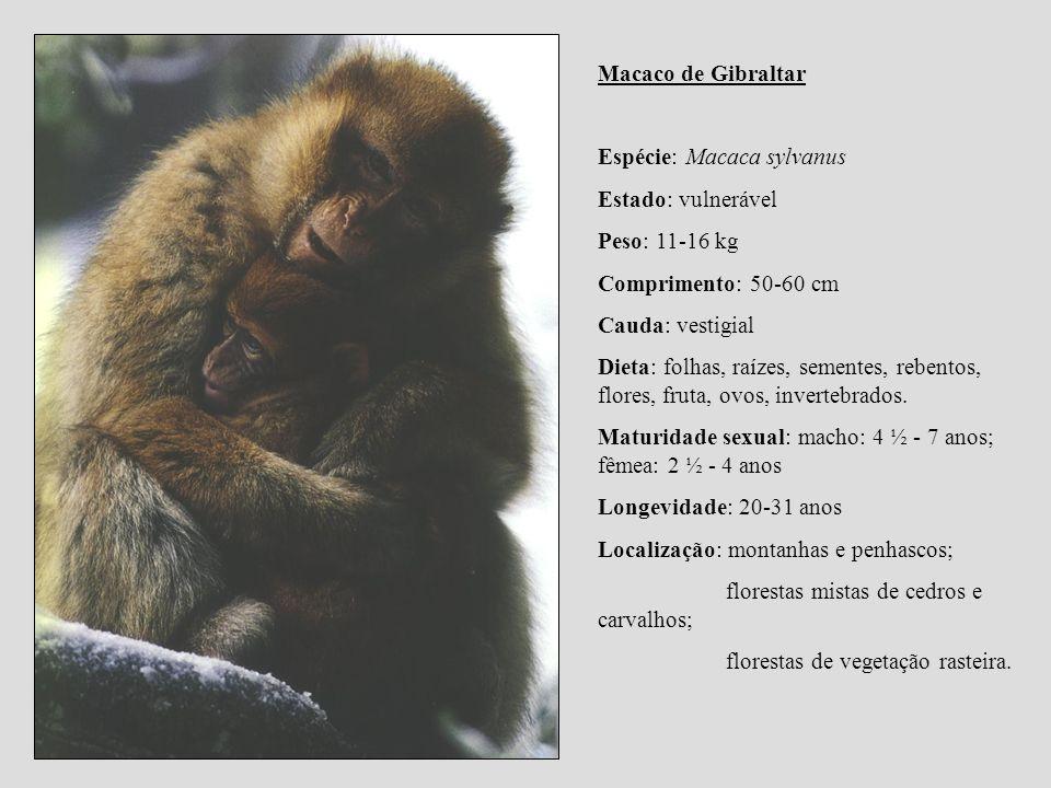 Macaco de Gibraltar Espécie: Macaca sylvanus. Estado: vulnerável. Peso: 11-16 kg. Comprimento: 50-60 cm.
