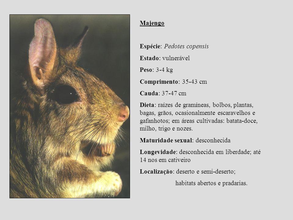 Majengo Espécie: Pedotes copensis. Estado: vulnerável. Peso: 3-4 kg. Comprimento: 35-43 cm. Cauda: 37-47 cm.