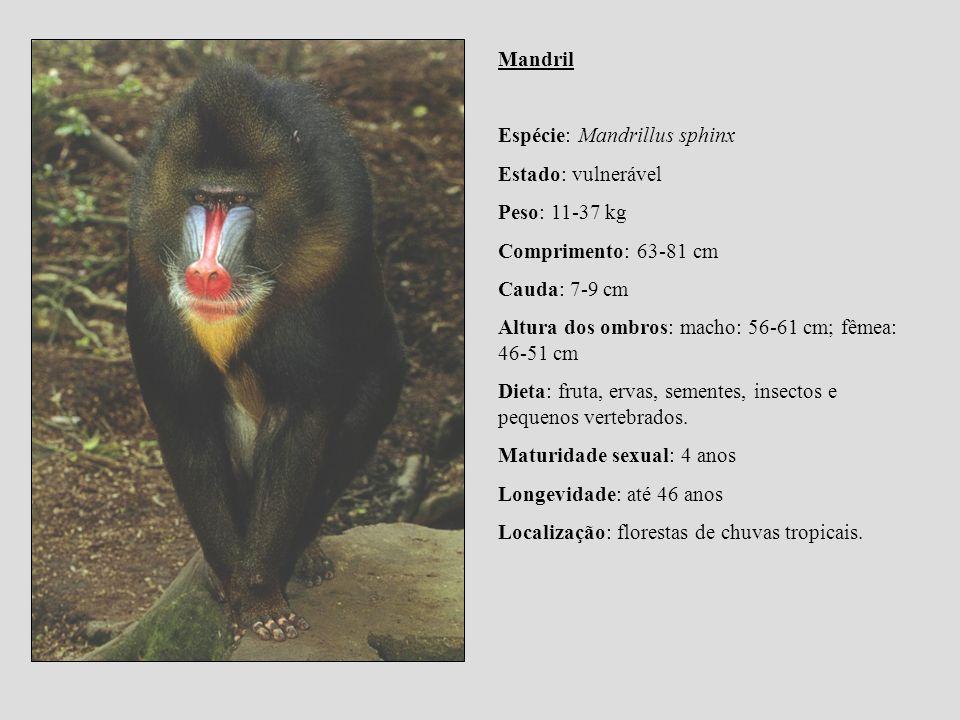 Mandril Espécie: Mandrillus sphinx. Estado: vulnerável. Peso: 11-37 kg. Comprimento: 63-81 cm.