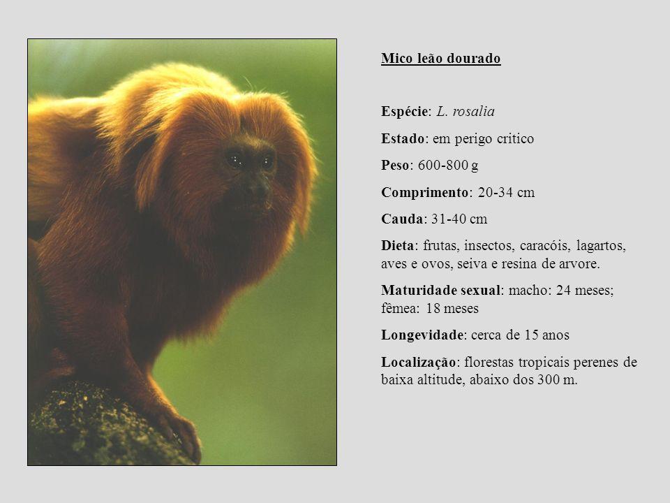 Mico leão dourado Espécie: L. rosalia. Estado: em perigo critico. Peso: 600-800 g. Comprimento: 20-34 cm.