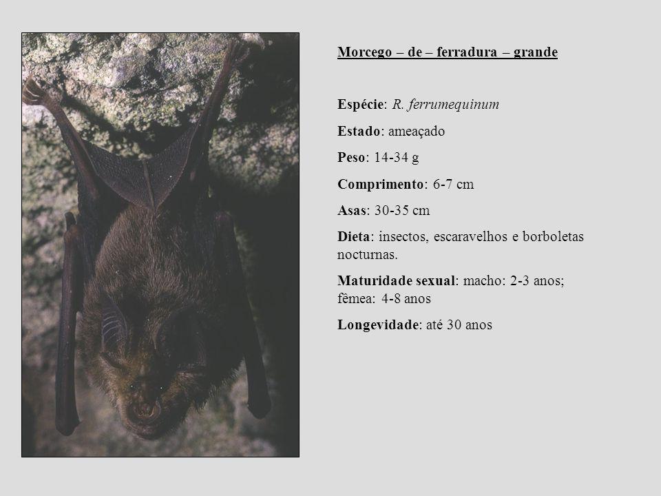 Morcego – de – ferradura – grande