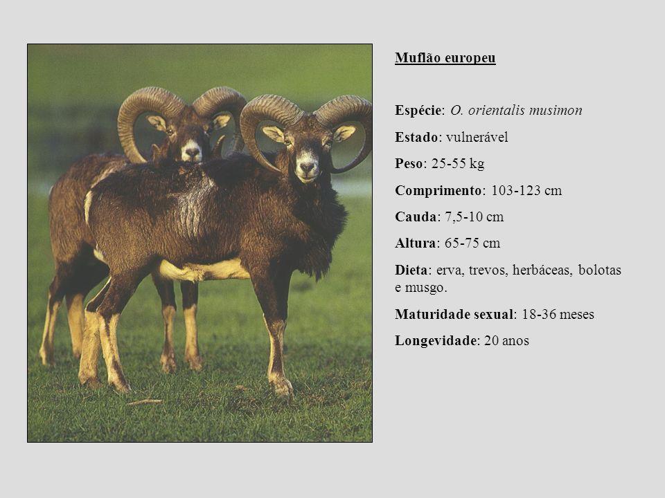Muflão europeu Espécie: O. orientalis musimon. Estado: vulnerável. Peso: 25-55 kg. Comprimento: 103-123 cm.