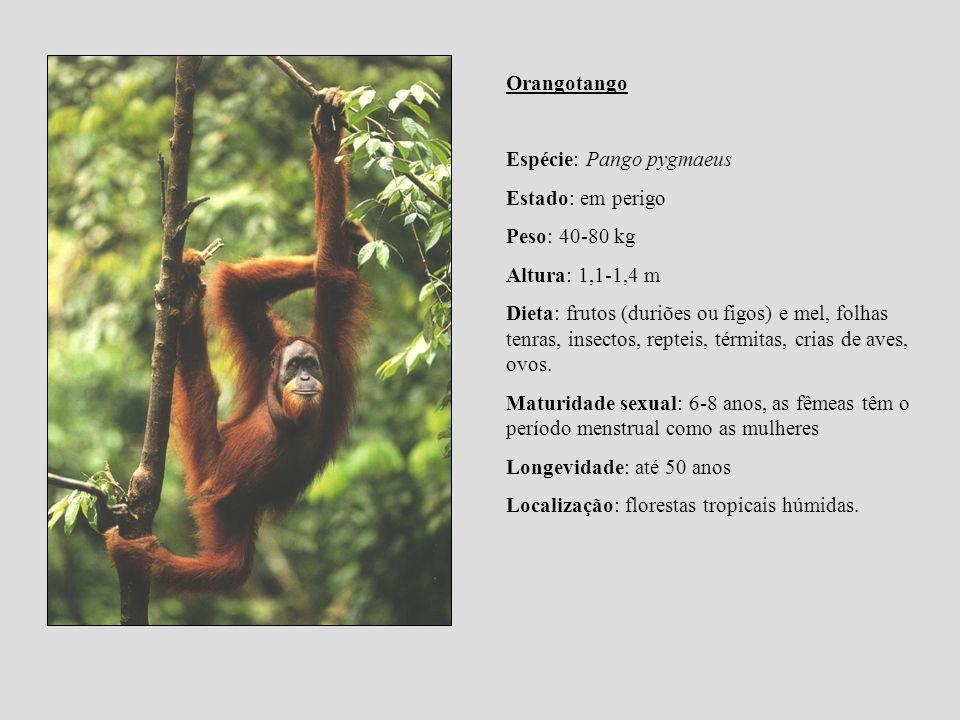 Orangotango Espécie: Pango pygmaeus. Estado: em perigo. Peso: 40-80 kg. Altura: 1,1-1,4 m.