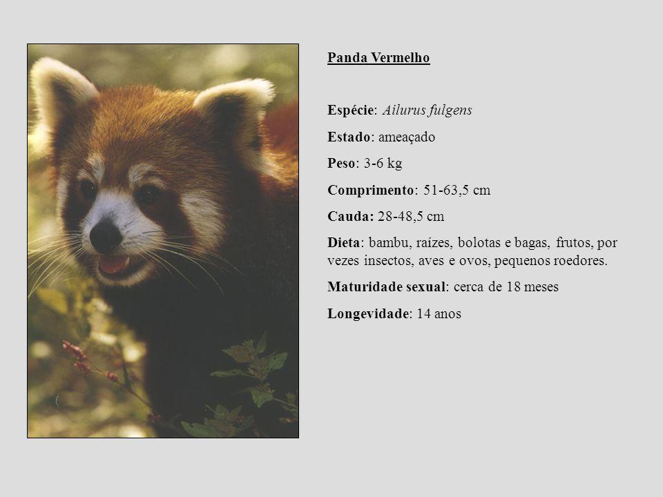 Panda Vermelho Espécie: Ailurus fulgens. Estado: ameaçado. Peso: 3-6 kg. Comprimento: 51-63,5 cm. Cauda: 28-48,5 cm.