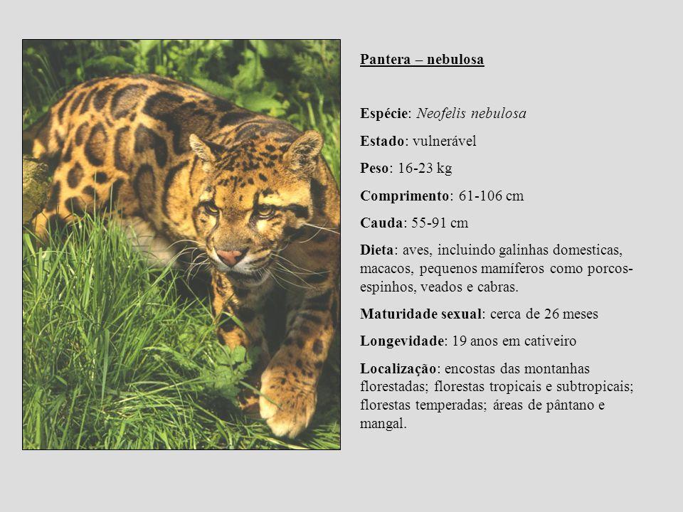 Pantera – nebulosa Espécie: Neofelis nebulosa. Estado: vulnerável. Peso: 16-23 kg. Comprimento: 61-106 cm.