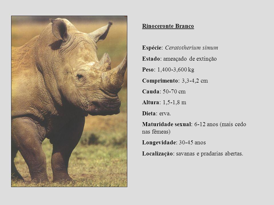 Rinoceronte Branco Espécie: Ceratotherium simum. Estado: ameaçado de extinção. Peso: 1,400-3,600 kg.