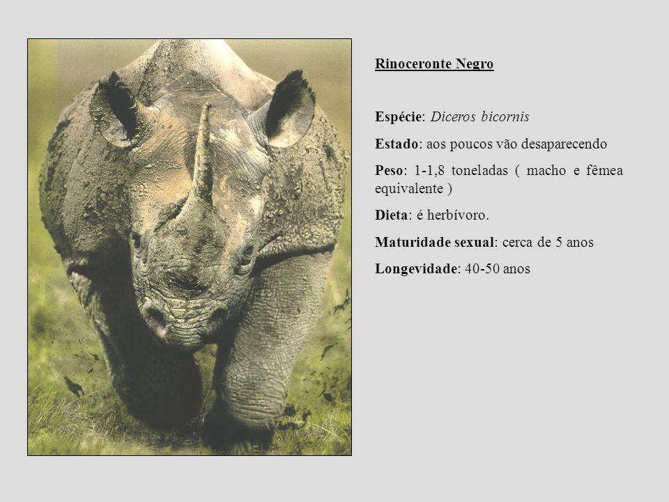 Rinoceronte Negro Espécie: Diceros bicornis. Estado: aos poucos vão desaparecendo. Peso: 1-1,8 toneladas ( macho e fêmea equivalente )