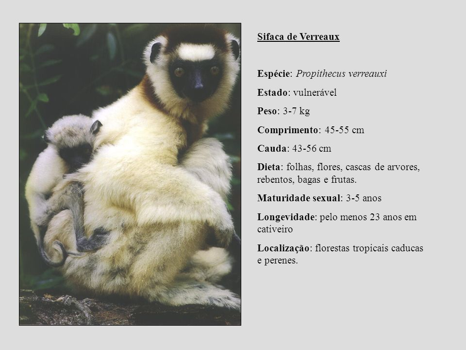 Sifaca de Verreaux Espécie: Propithecus verreauxi. Estado: vulnerável. Peso: 3-7 kg. Comprimento: 45-55 cm.