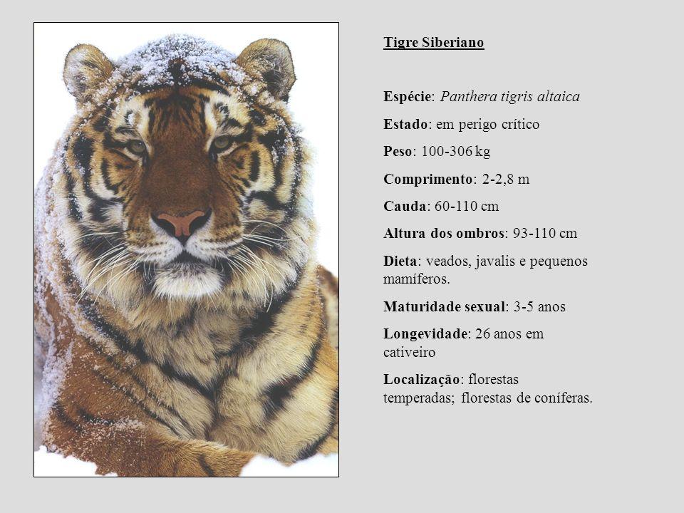 Tigre Siberiano Espécie: Panthera tigris altaica. Estado: em perigo crítico. Peso: 100-306 kg. Comprimento: 2-2,8 m.