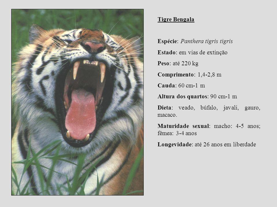 Tigre Bengala Espécie: Panthera tigris tigris. Estado: em vias de extinção. Peso: até 220 kg. Comprimento: 1,4-2,8 m.