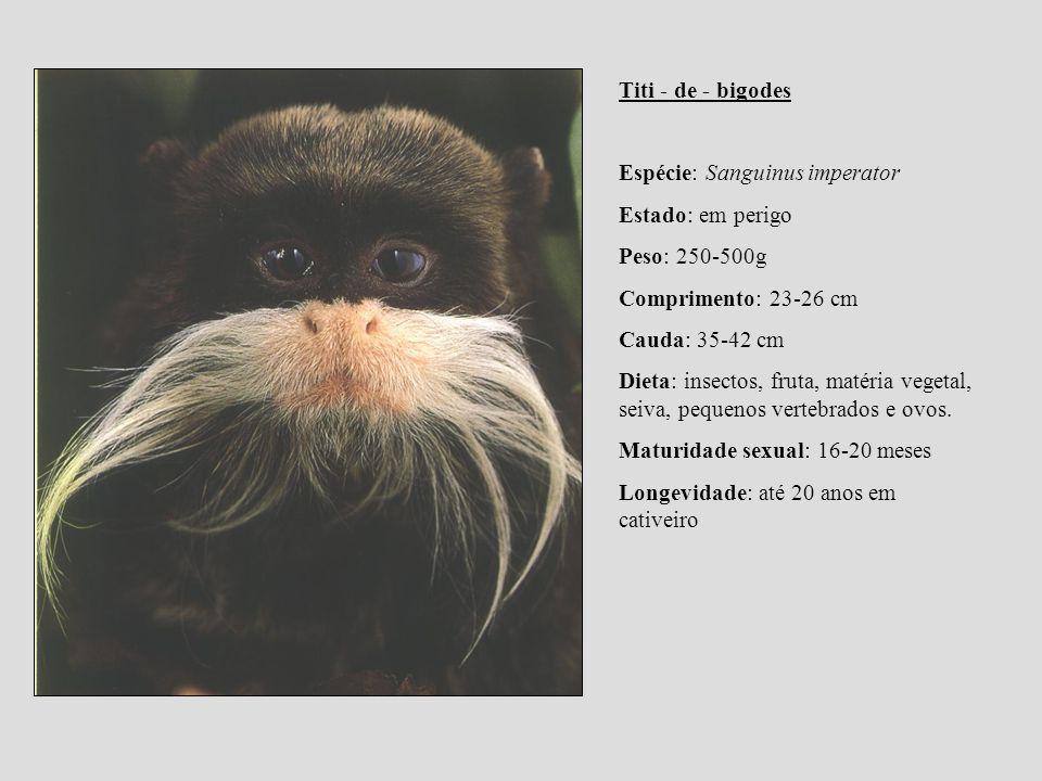 Titi - de - bigodes Espécie: Sanguinus imperator. Estado: em perigo. Peso: 250-500g. Comprimento: 23-26 cm.