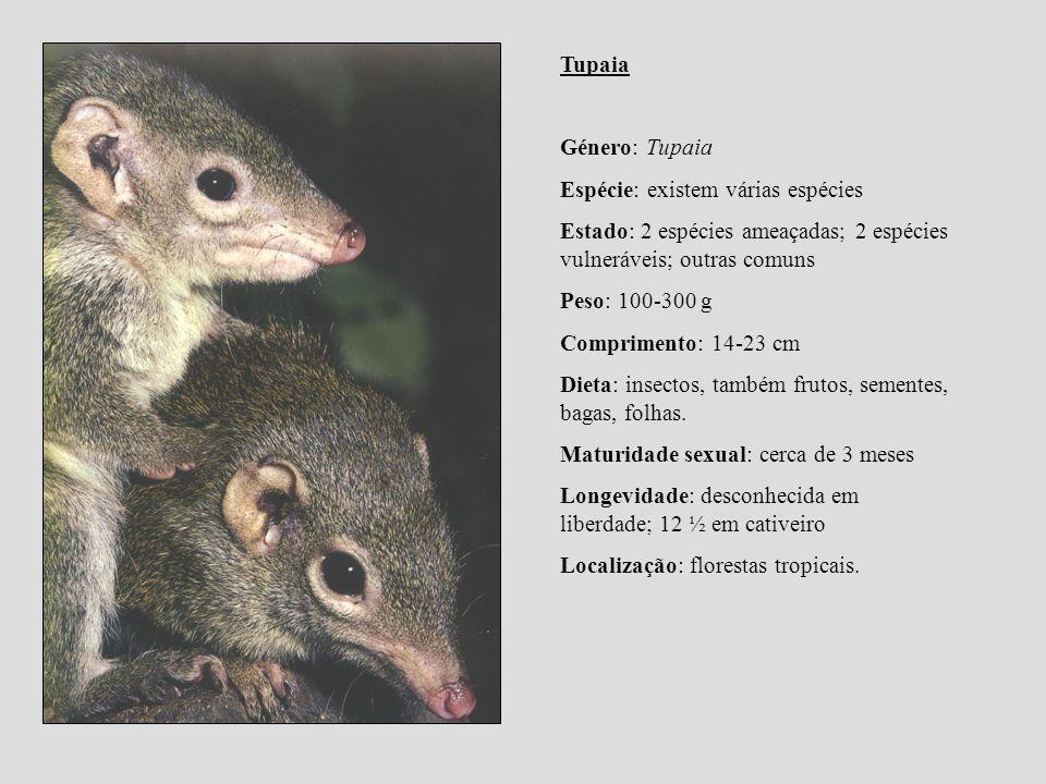 Tupaia Género: Tupaia. Espécie: existem várias espécies. Estado: 2 espécies ameaçadas; 2 espécies vulneráveis; outras comuns.