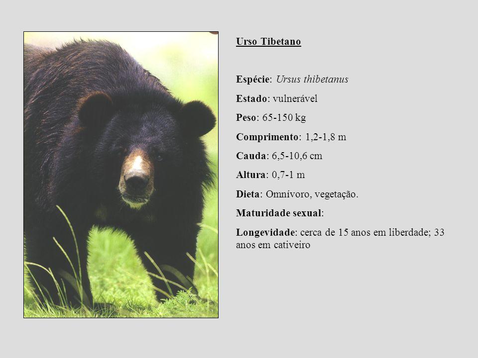 Urso Tibetano Espécie: Ursus thibetanus. Estado: vulnerável. Peso: 65-150 kg. Comprimento: 1,2-1,8 m.