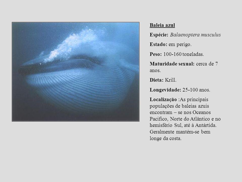 Baleia azul Espécie: Balaenoptera musculus. Estado: em perigo. Peso: 100-160 toneladas. Maturidade sexual: cerca de 7 anos.