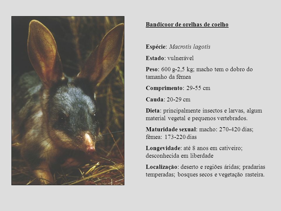 Bandicoor de orelhas de coelho
