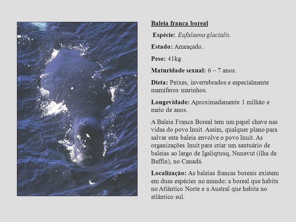Baleia franca boreal Espécie: Eufalaena glacialis. Estado: Ameaçado. Peso: 41kg. Maturidade sexual: 6 – 7 anos.