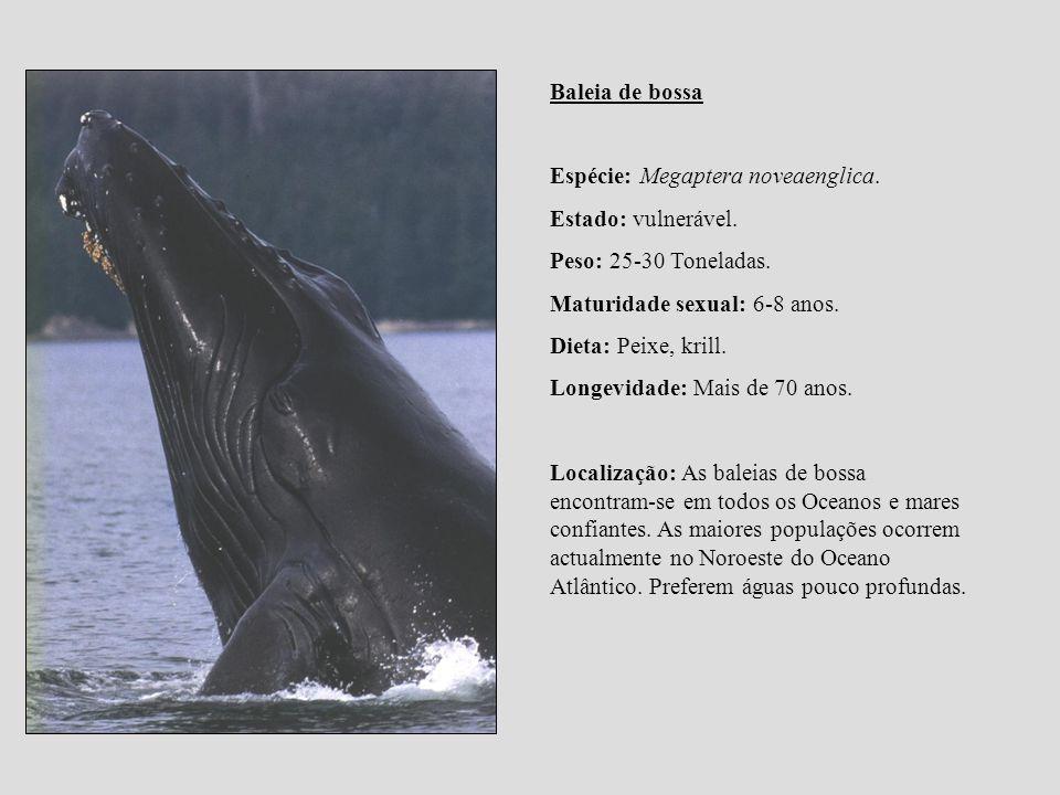 Baleia de bossa Espécie: Megaptera noveaenglica. Estado: vulnerável. Peso: 25-30 Toneladas. Maturidade sexual: 6-8 anos.