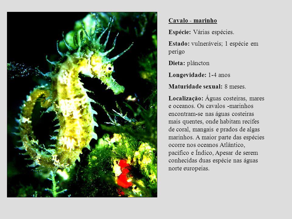 Cavalo - marinho Espécie: Várias espécies. Estado: vulneráveis; 1 espécie em perigo. Dieta: plâncton.