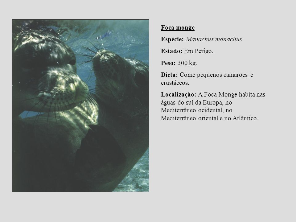 Foca mongeEspécie: Manachus manachus. Estado: Em Perigo. Peso: 300 kg. Dieta: Come pequenos camarões e crustáceos.