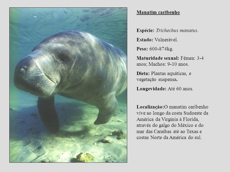 Manatim caribenho Espécie: Trichechus manatus. Estado: Vulnerável. Peso: 600-874kg. Maturidade sexual: Fêmea: 3-4 anos; Machos: 9-10 anos.