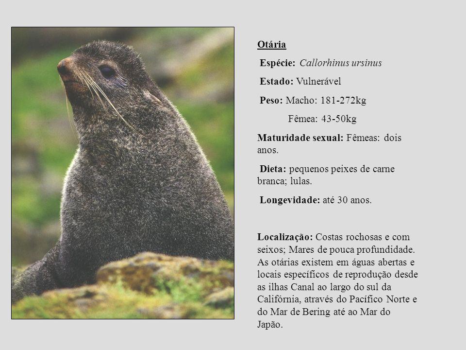 Otária Espécie: Callorhinus ursinus. Estado: Vulnerável. Peso: Macho: 181-272kg. Fêmea: 43-50kg. Maturidade sexual: Fêmeas: dois anos.