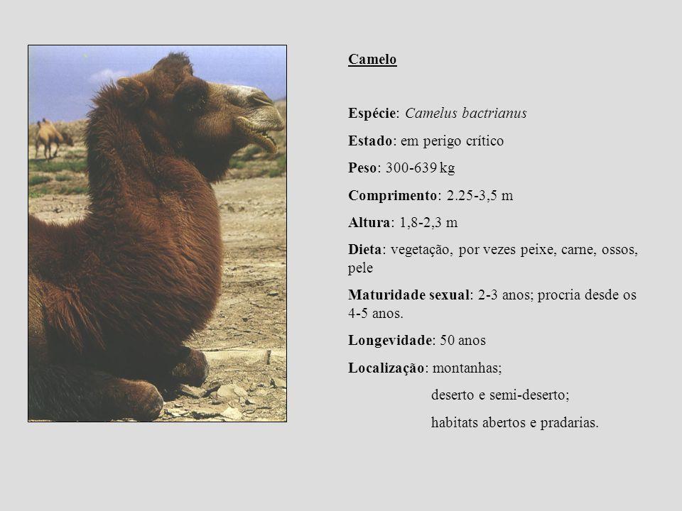 Camelo Espécie: Camelus bactrianus. Estado: em perigo crítico. Peso: 300-639 kg. Comprimento: 2.25-3,5 m.