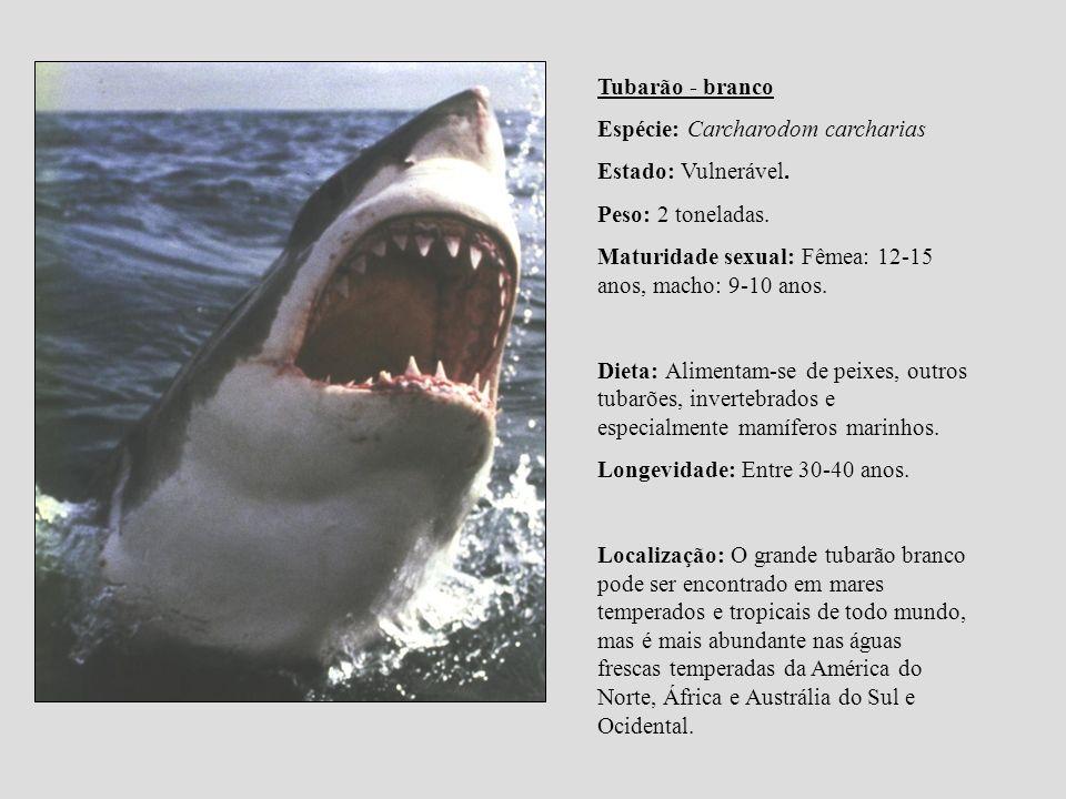 Tubarão - branco Espécie: Carcharodom carcharias. Estado: Vulnerável. Peso: 2 toneladas. Maturidade sexual: Fêmea: 12-15 anos, macho: 9-10 anos.