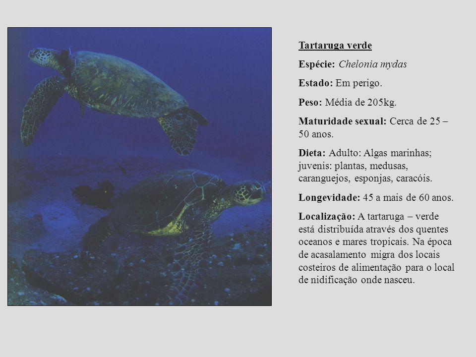 Tartaruga verde Espécie: Chelonia mydas. Estado: Em perigo. Peso: Média de 205kg. Maturidade sexual: Cerca de 25 – 50 anos.