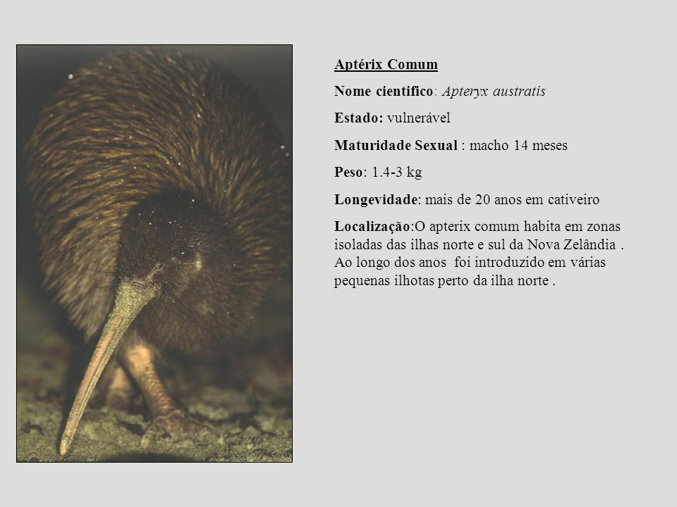 Aptérix Comum Nome cientifico: Apteryx austratis. Estado: vulnerável. Maturidade Sexual : macho 14 meses.