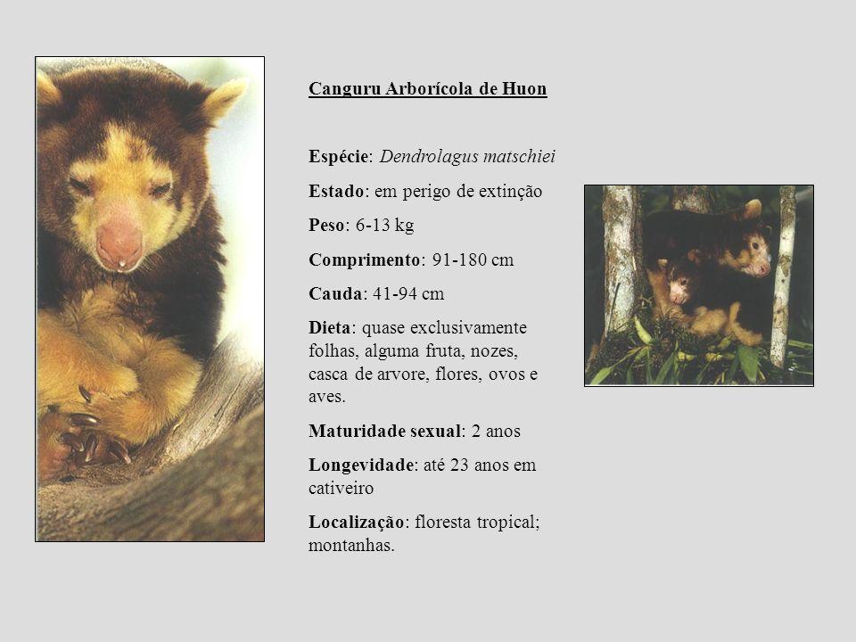 Canguru Arborícola de Huon