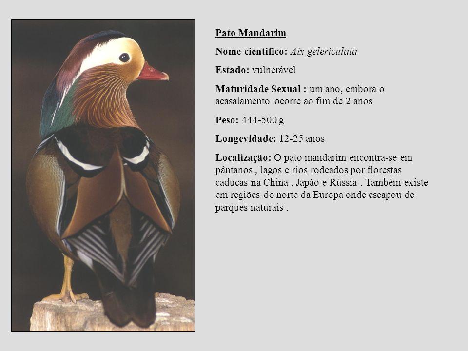Pato Mandarim Nome cientifico: Aix gelericulata. Estado: vulnerável. Maturidade Sexual : um ano, embora o acasalamento ocorre ao fim de 2 anos.