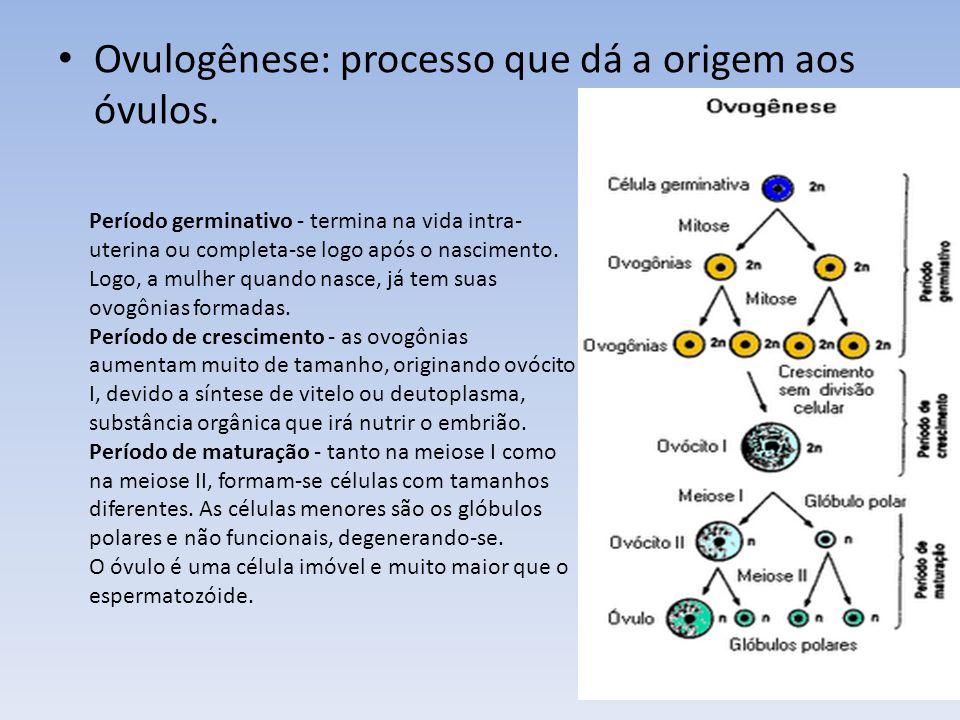 Ovulogênese: processo que dá a origem aos óvulos.