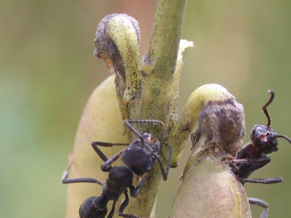 Possui glândulas que não estão nas flores mas que produzem néctar