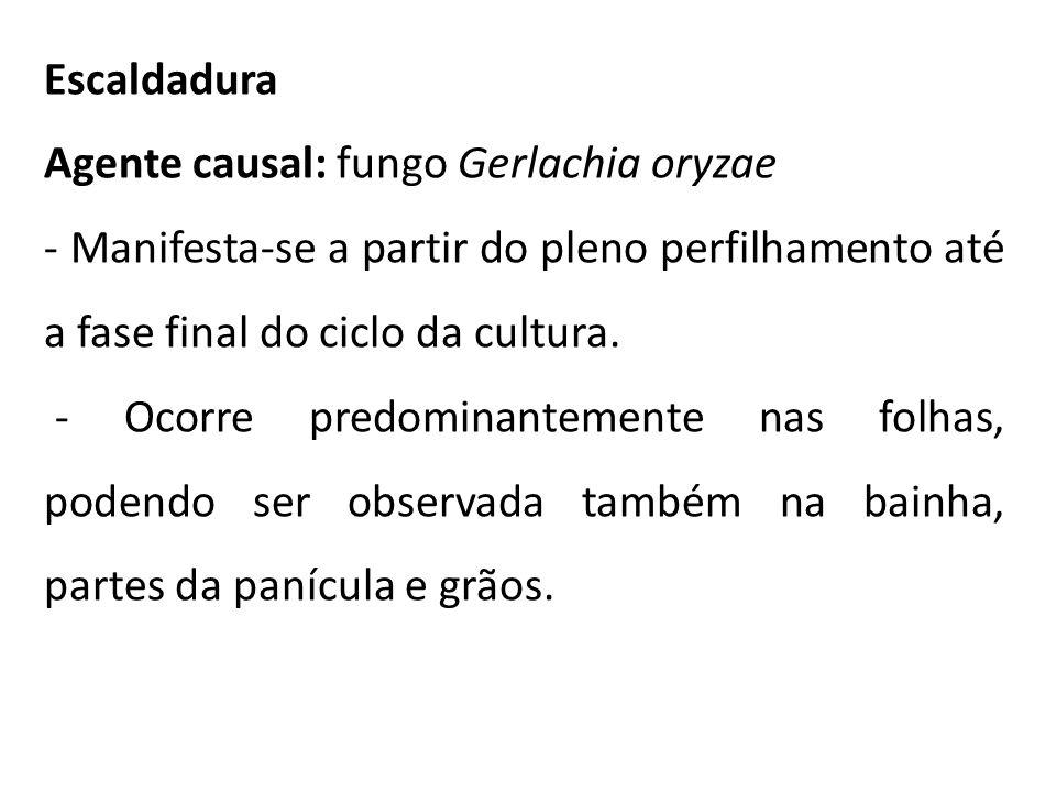 Escaldadura Agente causal: fungo Gerlachia oryzae. - Manifesta-se a partir do pleno perfilhamento até a fase final do ciclo da cultura.