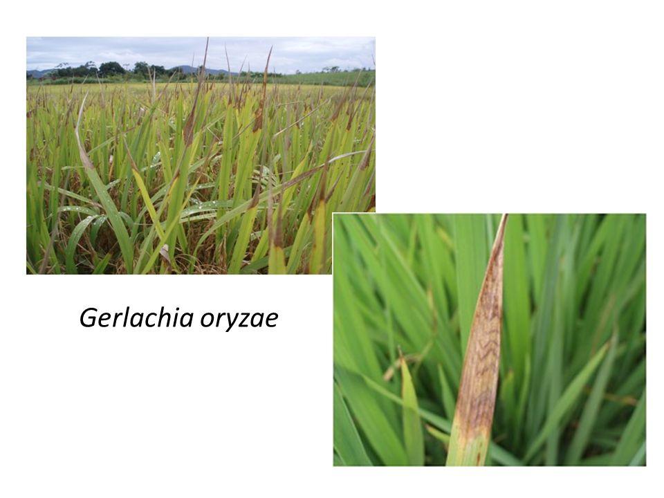 Gerlachia oryzae