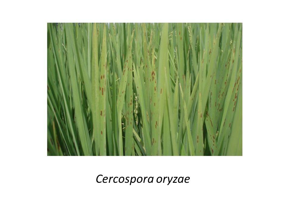 Cercospora oryzae