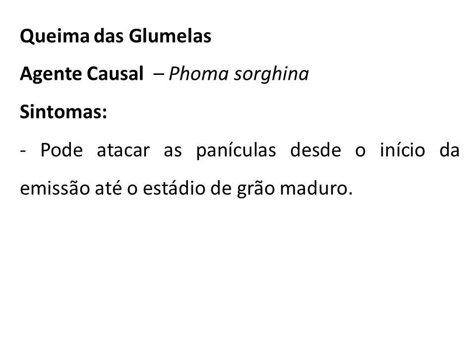 Queima das Glumelas Agente Causal – Phoma sorghina.