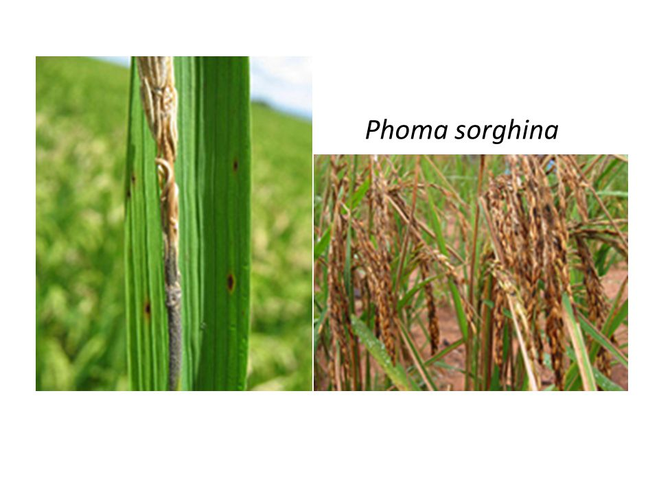 Phoma sorghina