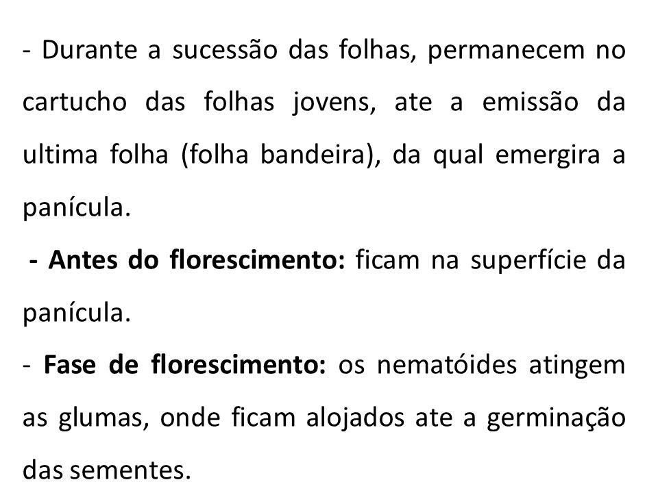 - Durante a sucessão das folhas, permanecem no cartucho das folhas jovens, ate a emissão da ultima folha (folha bandeira), da qual emergira a panícula.