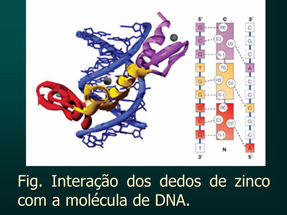 Fig. Interação dos dedos de zinco com a molécula de DNA.