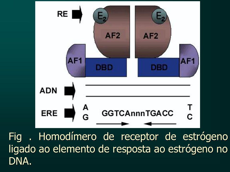 Fig . Homodímero de receptor de estrógeno ligado ao elemento de resposta ao estrógeno no DNA.