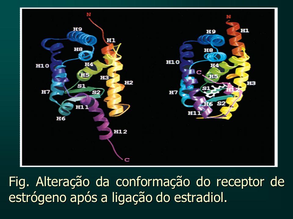 Fig. Alteração da conformação do receptor de estrógeno após a ligação do estradiol.