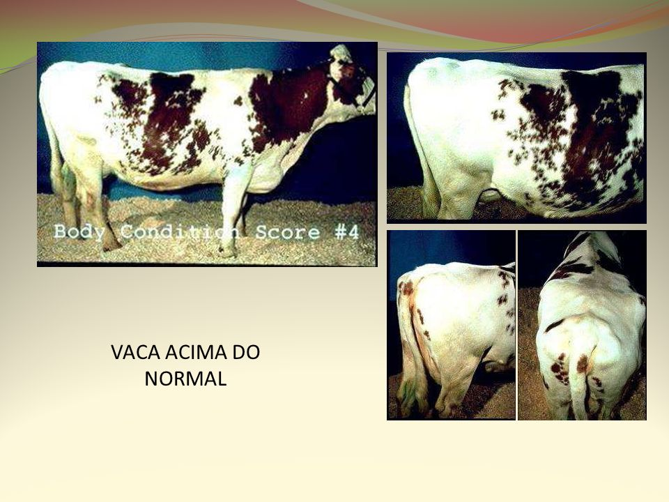 VACA ACIMA DO NORMAL