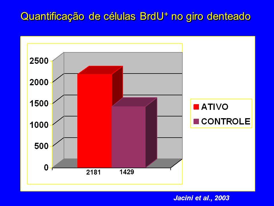 Quantificação de células BrdU+ no giro denteado
