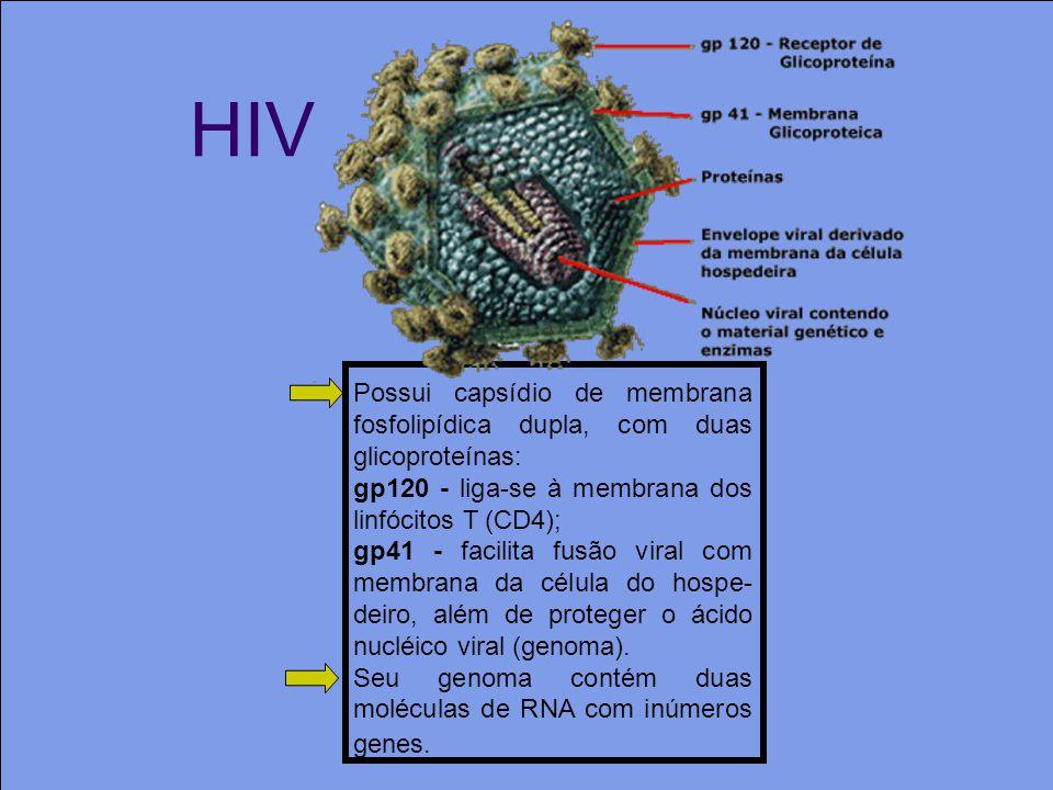 HIV Possui capsídio de membrana fosfolipídica dupla, com duas glicoproteínas: gp120 - liga-se à membrana dos linfócitos T (CD4);