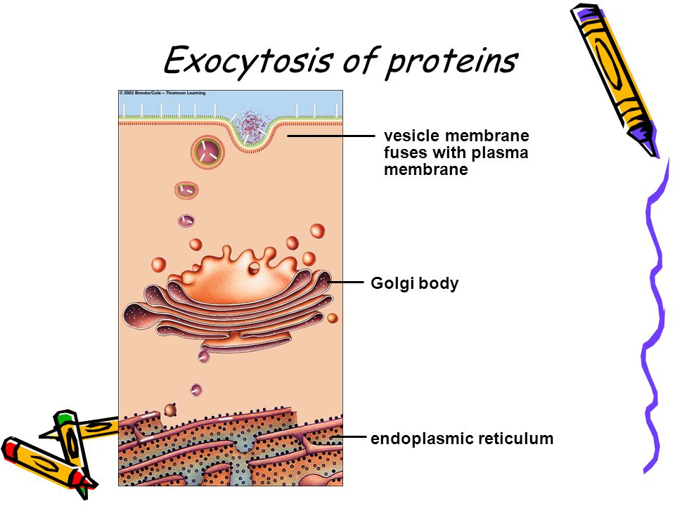 Exocytosis of proteins