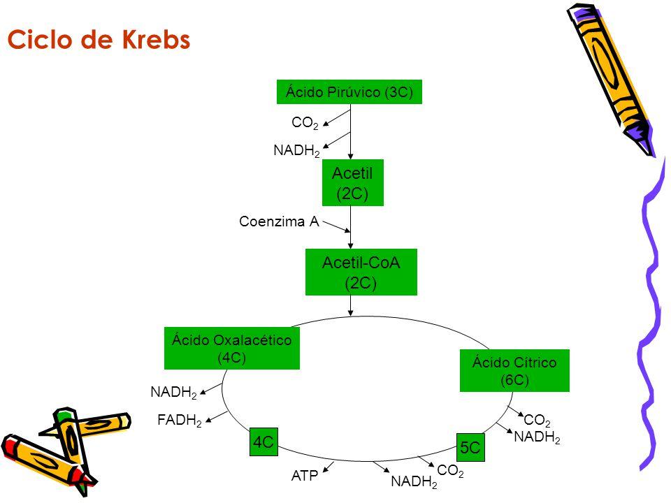 Ciclo de Krebs Acetil (2C) Acetil-CoA (2C) 4C 5C Ácido Pirúvico (3C)